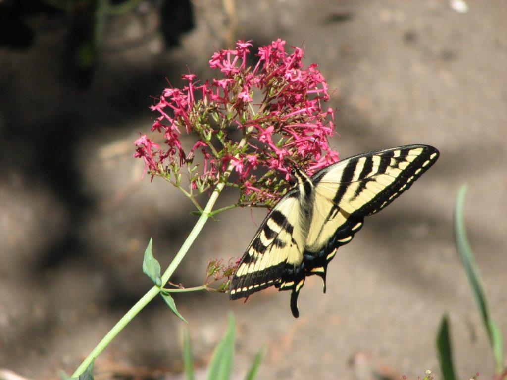 milkweedbutterfly